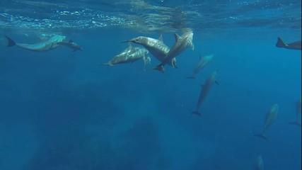 delfine mit kleinen baby delfine schwimmen im roten meer