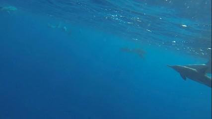 schwimmen und tauchen mit vielen delfinen im roten meer