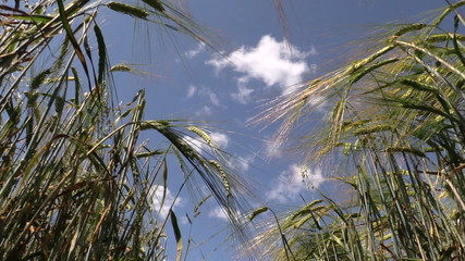 ripe rye ear swing on wind on blue sky background in summer