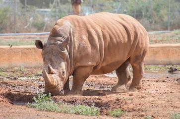 Rhino in national park. Family Rhinocerotidae.