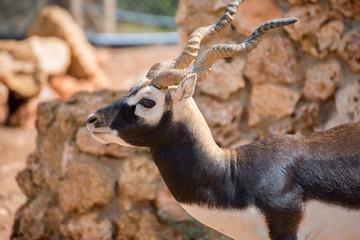 Blackbuck walking in national park. Antilope cervicapra.