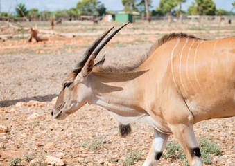 Antilope walking in national park.