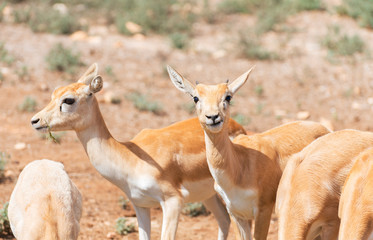 Young antilopes eating in national park.