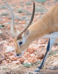 Addax walking in national park. Addax nasomaculatus.