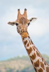Rothschild's giraffe in national park.