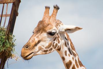 Rothschild's giraffe in national park. Giraffa rothschildi.