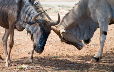 Blue wildebeest fighting in national park.