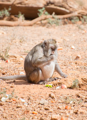 Fat monkey eating in national park.