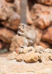 Little monkey eating in national park.