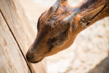 Portrait of brown goat.