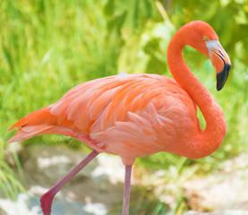 Pink flamingo walking in national park. Phoenicopterus ruber
