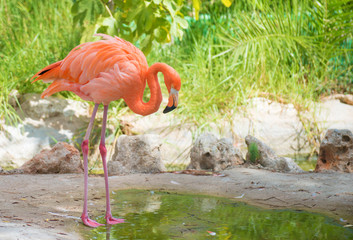 Pink flamingo near the pond in national park.