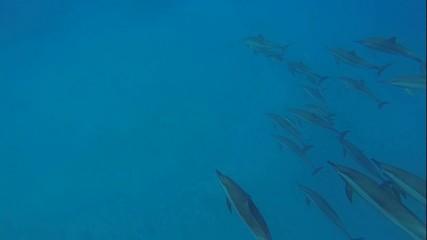 viele delfine in der hausbucht im roten meer beim tauchen