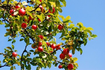 Rich bunch of red apples on a branch