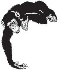 chimpanzee black white