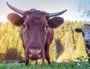 Schwarzwald-Kühe