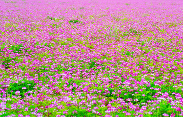 Field of chinese milk vetch blooming at early summer