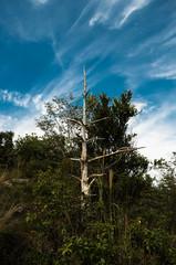 白い枯れ木と筋雲