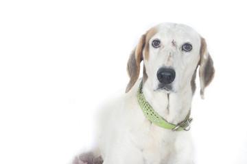 Perro blanco desconfiado