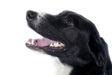 Cara de perro negro