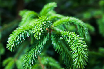 Fir twigs.