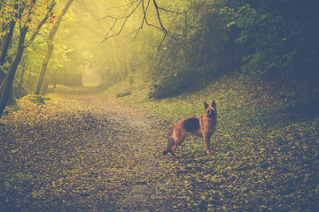Dog in autumn forest with sun light
