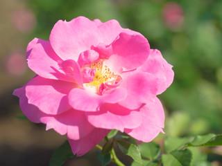 大輪の桃色の薔薇
