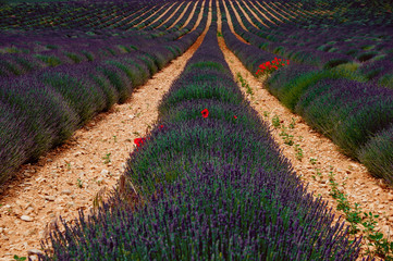 Lavendel und Mohn