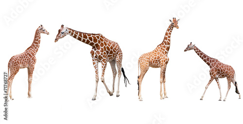 Poster Set from four giraffes  isolated on a white background
