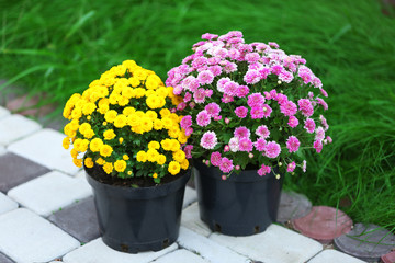 Yellow and lilac flowers in pots on garden background