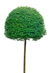 Topiary tree over white background