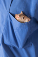 rat in a pocket