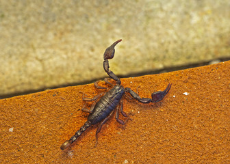 Euscorpius, small wood scorpion on orange brick. Nature macro.