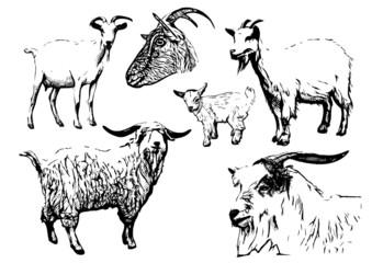 goat vector illustrations