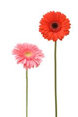 two daisy