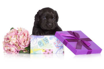 black adorable puppy in a gift box