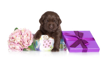 chocolate brown puppy in a gift box
