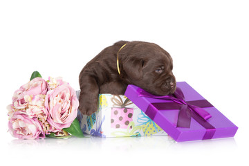 chocolate brown labrador puppy in a gift box