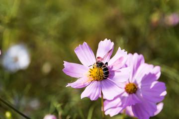 コスモスと蜜蜂