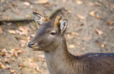 Western roe deer