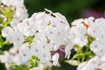 white Phlox flower - genus of flowering herbaceous plants