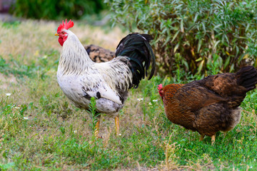 egg laying hens in the yard