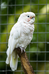 Goffin Cockatoo in outside aviary