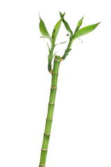 Fresh bamboo stem with leaves