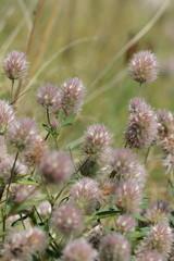 Trèfle pied-de-lièvre (trifolium arvense)