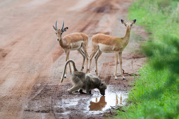 A wild Baboon drinking amoungst a herd of wild Impala