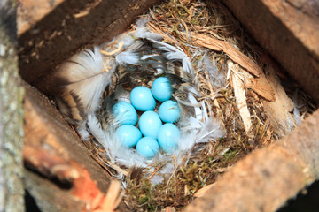 Nest of the Phoenicurus phoenicurus, Redstart.