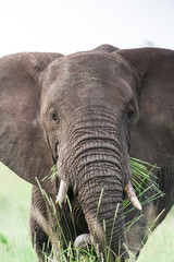 A large wild African Elephant feeding on grass in the rain