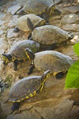 turtles resting by the pond