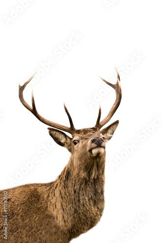 Red deer - 71780502